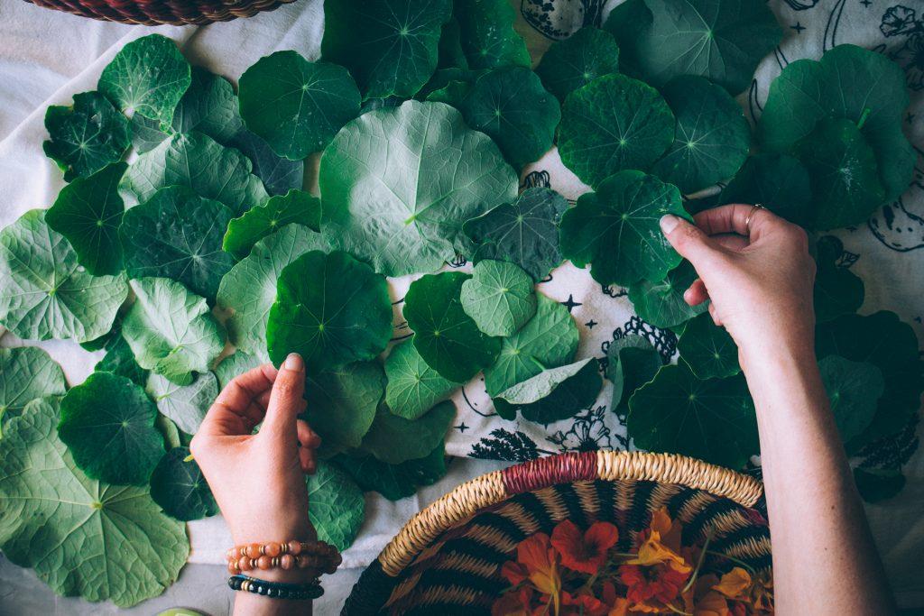 Sorting through nasturtium leaves for the pesto.