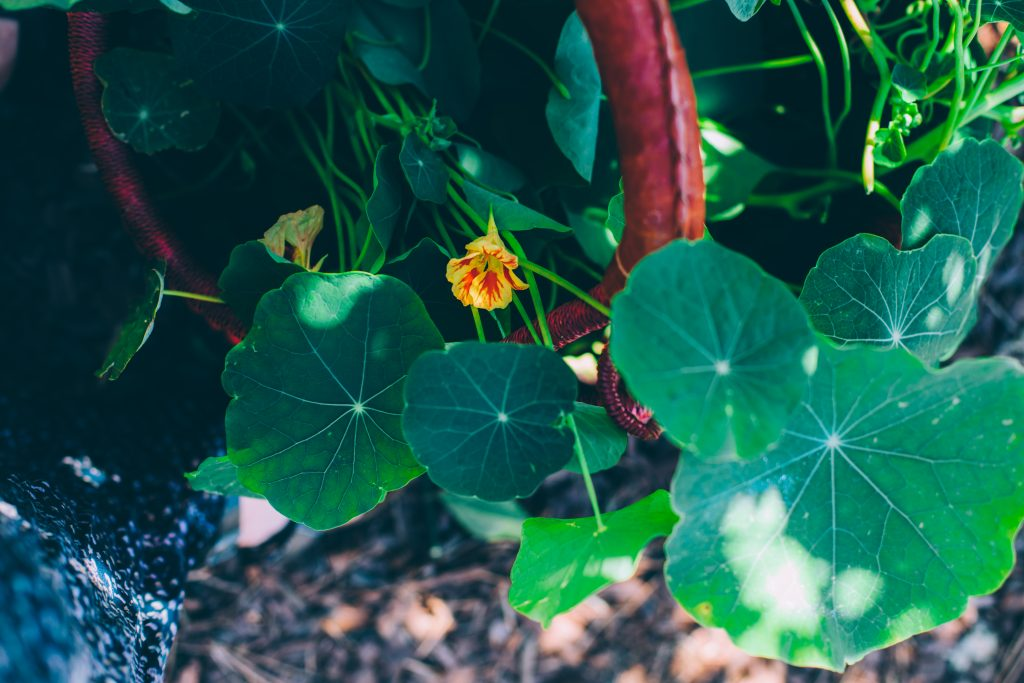 A basket full of nasturtium leaves and flowers